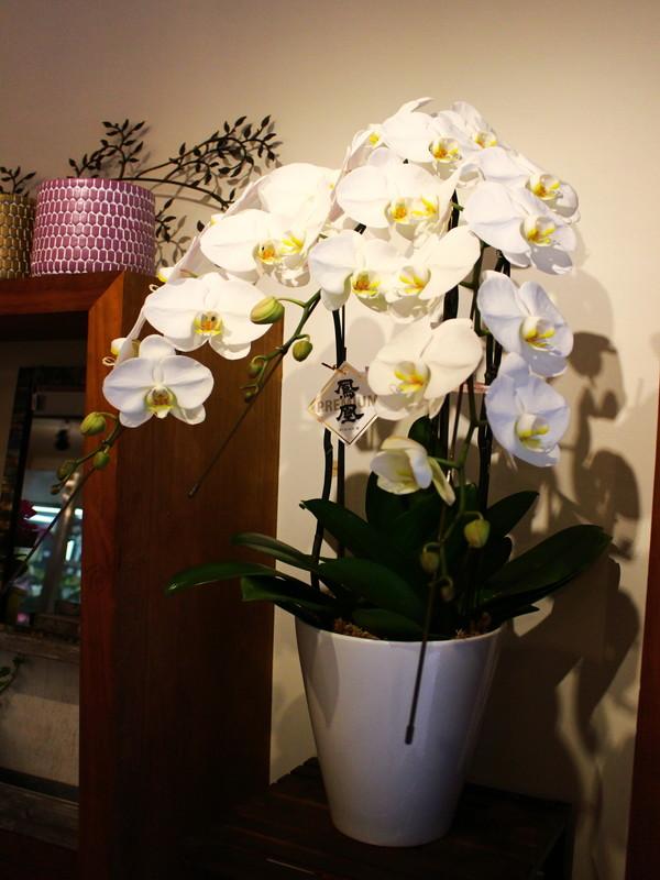 胡蝶蘭3本立 ¥16000